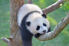Bao Bao Hanging Out | Flickr - Photo Sharing!