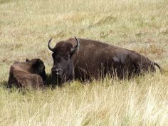Buffalo calves are born away from the herd in a secluded area with plenty of cover. The female buffalo will provide protection for the young calves as the male buffalo do not participate in this activity.