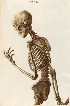 Drawing Anatomy Reference Plate B upper half from Christoph Jacob Trew's Tabulae osteologicae Human Skeleton, Female Skeleton, Skeleton Flower, Human Anatomy Drawing, Human Figure Drawing, Memento Mori, Medical Illustration, Illustration Art, Skeletons