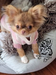 Chihuahua Puppies For Sale, Puppies And Kitties, Teacup Puppies, Chihuahua Love, Baby Puppies, Cute Baby Dogs, Cute Little Puppies, Cute Puppies, Cute Funny Animals