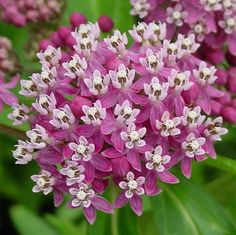 Asclepias incarnata, Swamp Milkweed, 50 seeds, pink butterfly weed, Monarch host, perennial in all zones, likes wet soil. Asclepias incarnata looks fancy, but it's tough and vigorous. It thrives in swampy spots and doesn't mind wet feet. Plant it in sun or part shade and keep it watered. It's perennial in all zones 3-9 and does very nicely in a large pot.