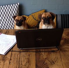Pugsly the Jug and Lola the Puggle hard at work today!