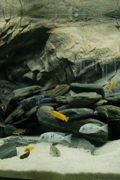 48 best cichlids images fish tanks aquarium aquarium ideas