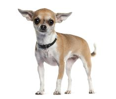 how to teach your chihuahua tricks