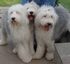 pictures old english sheepdogs - Google Search