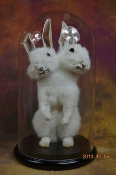 taxidermy of two headed rabbit,mounted with case free shipping to everywhere