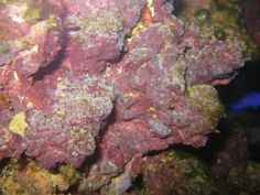 Coralline Algae: Eukarya, Archaeplastida, Rhodophyta. Photoautotrophic - Multicellular - Calcareous Thallus - Phycoerythrin - No Flagella - Marine (Deep) - Chloroplasts from Primary Endosymbiosis of Cyanobacteria