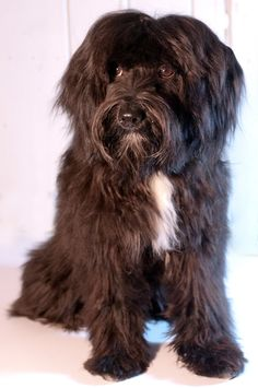 Tibetan Terrier Beau after 1st haircut | by thewentworths1