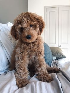 cavapoo puppy & cavapoo welpe You are in the right place about tough Dog Toys Here we Cute Dogs Breeds, Cute Dogs And Puppies, Dog Breeds, Doggies, Cavapoo Puppies, Mini Goldendoodle, Goldendoodles, Labradoodles, Goldendoodle Grooming
