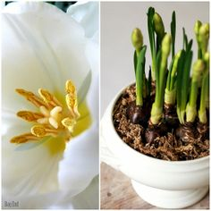 Easter flowers / Pääsiäiskukkia