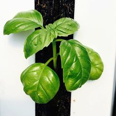 What are you this week? is one of the most popular plants to grow for both backyard enthusiasts and commercial vertical farmers. Still growing our most fragrant Basil through the wintry weather. by zipgrow Wintry Weather, Vertical Farming, Urban Farming, Hydroponics, Farmers, Basil, Plant Leaves, Commercial, Backyard