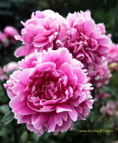 a particularly attractive dianthus cultivar    For the past several posts I've been peony and siberian iris heavy with a goodly dose of di...