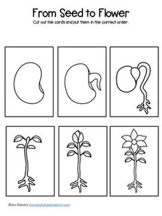 From Seed to Flower Sequencing Cards - - From Seed to Flower Sequencing Cards Kinder idishe Vom Samen zur Blumensequenzierungskarte Seeds Preschool, Kindergarten Science, Preschool Worksheets, Preschool Learning, Preschool Crafts, Science Classroom, Science Projects For Kids, Science Lessons, Science Activities