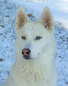 "Neil W says his Siberian Husky, Sabra, ""has similar piercing and alert blue eyes… as Mr. Cooper."""