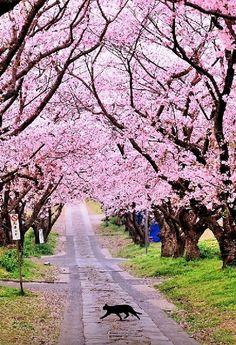 Cherry Blossom | by WindyLife on DeviantArt