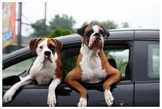 Boxer dogs rock.
