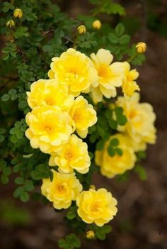 20 Most Beautiful Yellow Flowers - Pflanzenwelt - Amazing Flowers, Beautiful Roses, My Flower, Beautiful Flowers, Cactus Flower, Exotic Flowers, Ronsard Rose, Parcs, Shades Of Yellow
