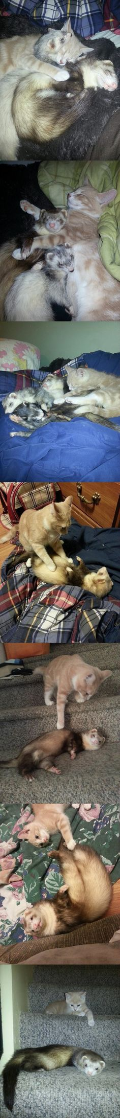 Kitten and Ferrets growing up together (part 2)