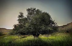 Tropical Plantas -  Olea europaea Olive tree