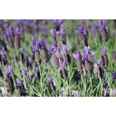 Lavender Avonview is a compact lavender that produces masses of fragrant deep purple flowers in spring and summer and it has grey-green aromatic foliage. Types Of Lavender Plants, Types Of Flowers, Types Of Plants, Purple Flowers, Colorful Flowers, Lavandula, Formal Gardens, Hedges, Deep Purple
