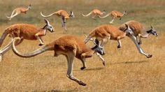 Red Kangaroos (macropus rufus) hopping in the Australian outback (© Gerard Lacz/Age Fotostock)