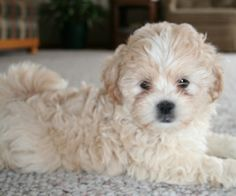 The coat of the Shih-poo may be long, straight, and profuse; or a combination. The& Shih-Poo Source by SheWritesHerJourney_ The post Shih-Poo appeared first on Dogs With Brian. Shih Tzu Poodle Mix, Shih Poo Puppies, Shih Tzu Puppy, Cute Puppies, Cute Dogs, Dogs And Puppies, Doggies, Shih Tzus, Maltese Puppies