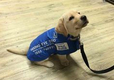 A seeing eye dog on his first day of work (yellow lab puppy)