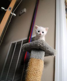 Tiny Bitty Nugget … climbs to the top of the cat tree: