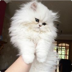 chaton poils blancs Plus