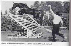 Gharib (Anter x Souhair) A 1965 Egyptian Arabian stallion exported to Marbach Germany and had quite the jumping talent! As well as being pure black!