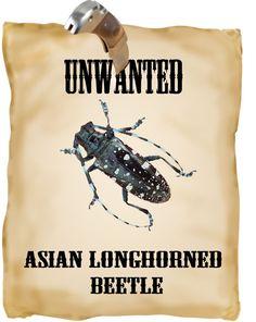 Wanted asian longhorned beetle