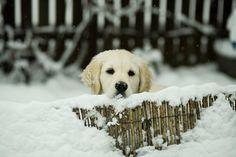 Lara, the Golden Retriever, on her first winter