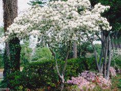 Chinese Fringe Tree Chionanthus retusus : HGTV Gardens