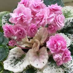 African Violet - Rose Bouquet Leaves (2)