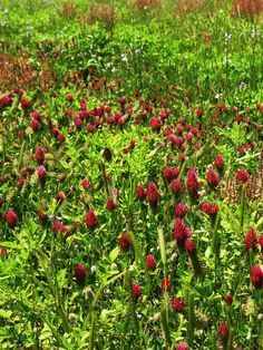 Crimson Clover... lining US 17 in Awendaw, South Carolina