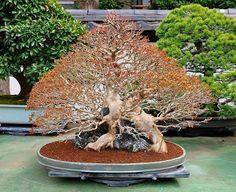 129 Best Bonsai Images On Pinterest Bonsai Trees Bonsai Art And