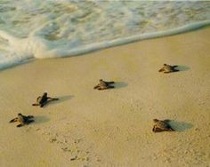 """""""baby sea turtles are so darn cute, they wear their shells like a bathing suit! Splishing and a splashing all day long, baby sea turtles are so darn fun!"""""""