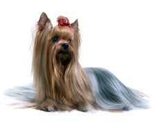 #VetsSherbourne The Yorkshire Terrier  do better with older children who've been taught to respect them than with toddlers and small children. They can become snappish if they're startled or teased.