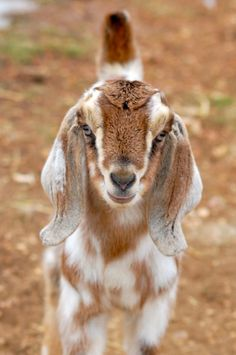Baby Goats and Friends - Béa Bonnaire Blakemore - Baby Goats and Friends Pretty goat! I love goats! Cute Baby Animals, Farm Animals, Goat Picture, Nubian Goat, Goat Barn, Cute Goats, Goat Farming, Baby Goats, Animals Beautiful