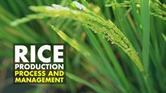 Rice Production Process and Management- Agribusiness Season 2 Episode 9 ...