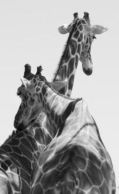 These giraffes are a great pair to photograph.