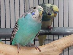 Persuading budgies to eat veggies Pet Bird Cage, Bird Cages, Parakeets, Cockatiel, Parakeet Bird, Bird Food, How Do I Get, Beautiful Birds, I Got This