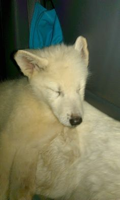 Tenshi 2 months old Tundra wolf