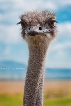 An ostrich - not 'camera shy' Pretty Birds, Beautiful Birds, Animals Beautiful, Baby Animals, Funny Animals, Cute Animals, Wildlife Photography, Animal Photography, Nature