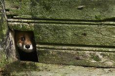 Kai Fagerstrom's Photos Capture Cheeky Wild Animals Squatting in Abandoned Farmhouses   Inhabitat - Sustainable Design Innovation, Eco Archi...