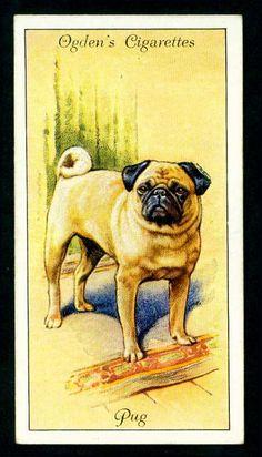 Cigarette Card - Pug    Ogden's Cigarettes, Dogs, 1936.  No20 Pug