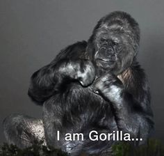Talented: Koko the Gorilla has been learning sign language since she was a year old