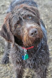 OUTBACKS Brown Chrome Wire haired pointing griffon