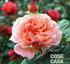 Rosa Etrusca  Un'italiana dal colore irresistibile dal classico profumo di rosa http://www.cosedicasa.com/rosa-etrusca-66138/