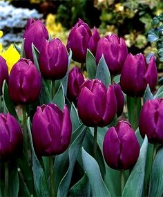 Single Early Tulip Purple Prince--Purple Prince's large, lilac-purple flowers have a beet root-purple interior and are a perfect counterpoint for Single Early Tulip Princess Irene.